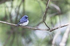 Le FLYCATCHER d'outre-mer a émigré à au nord du support de la Thaïlande sur le bâton de pin en nature image stock
