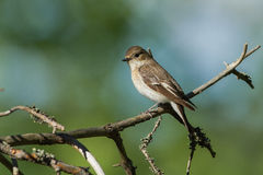 Le FLYCATCHER pie se repose sur une branche de pin Photographie stock