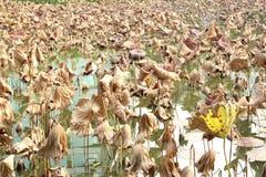 Le foglie appassite del loto sono nello stagno Immagini Stock