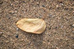 Le foglie asciutte, lo zucchero mostra la siccità sui precedenti sabbiosi Fotografia Stock Libera da Diritti