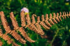 Le foglie asciutte sono marroni in natura immagini stock