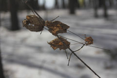 Le foglie asciutte sul ramo di un albero di acero Fotografie Stock