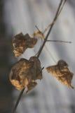 Le foglie asciutte sul ramo di un albero di acero Immagine Stock Libera da Diritti