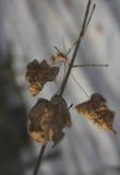 Le foglie asciutte sul ramo di un albero di acero Immagini Stock
