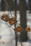 Le foglie asciutte sul ramo di un albero di acero Immagine Stock