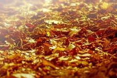 Le foglie cadute autunno si sono accese dal sole di pomeriggio Fotografia Stock