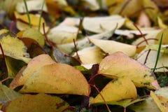 Le foglie cadute di un'albicocca Fotografia Stock