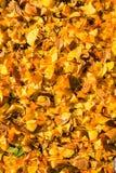 Le foglie dei autum gialli Immagini Stock