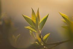 Le foglie dei giovani Fotografia Stock Libera da Diritti