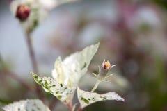 Le foglie dei giovani e la germinazione dell'ibisco fioriscono sul fondo della sfuocatura è una pianta della famiglia di malva fotografia stock libera da diritti