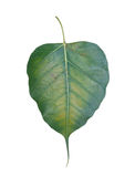 Le foglie del Bodhi Fotografie Stock Libere da Diritti