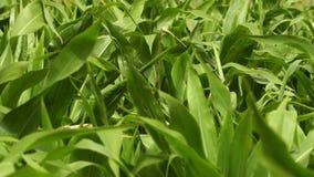 Le foglie del cereale si chiudono su