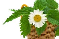 Le foglie del fiore e dell'ortica della margherita si chiudono su su fondo bianco Fotografie Stock