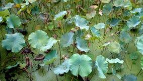 Le foglie del loto stanno spiegando nello stagno, il limo ma non non imbrued fotografie stock