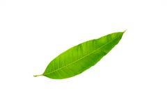 le foglie del mango hanno isolato il fondo bianco Fotografia Stock