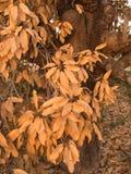 Le foglie del mango muoiono Fotografia Stock Libera da Diritti