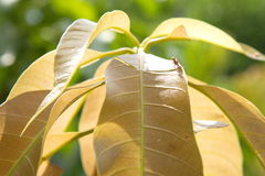 Le foglie del mango sono morse dai tonchi del mango Fotografia Stock