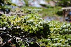 Le foglie del pino Primo piano dei germogli del pino Immagini Stock Libere da Diritti