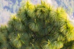 Le foglie del pino si chiudono su fotografie stock