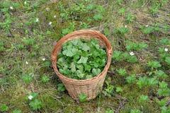 Le foglie del rovo nel canestro nella palude per una tisana medicinale Immagini Stock