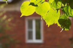 Le foglie del tiglio e di una finestra Fotografia Stock