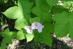 le foglie del tipo di acero ed impallidiscono dentelli cinque fiori petaled del lampone della Virginia fotografie stock
