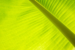 Le foglie del verde del banano strutturate Fotografie Stock