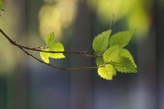 Le foglie dell'albero alla luce solare Fotografia Stock