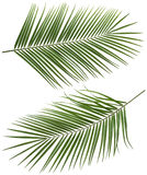 Le foglie dell'albero del cocco lungamente hanno messo 2 isolati Immagine Stock