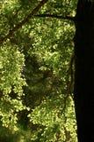 Le foglie dell'albero sono evidenziate in sole luminoso Immagini Stock Libere da Diritti