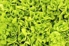 Le foglie dell'insalata Fotografia Stock