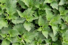 Le foglie dell'ortica che crescono in un giardino Fotografie Stock