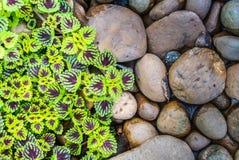 Le foglie dell'ortica di fiamma (coleus) ed i precedenti dei ciottoli Fotografie Stock