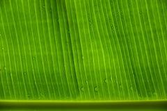 Le foglie della banana Immagine Stock