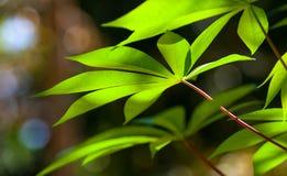 Le foglie della manioca immagini stock libere da diritti
