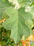 Le foglie della melanzana si chiudono su Fotografie Stock