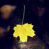 Le foglie di acero gialle mettono sulla pietra in fiume Fogli caduti Fotografia Stock Libera da Diritti