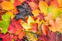 Le foglie di acero miste caduta colora la priorità bassa Fotografia Stock Libera da Diritti