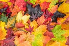 Le foglie di acero miste caduta colora la priorità bassa Fotografie Stock Libere da Diritti