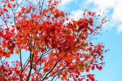 Le foglie di acero rosse luminose sul chiaro fondo del cielo blu abbelliscono nella stagione di autunno, foglie di acero si giran Immagini Stock
