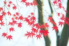 Le foglie di acero rosse nell'inverno illustrazione di stock
