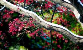 Le foglie di acero rosse nell'inverno Immagine Stock Libera da Diritti