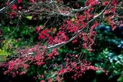 Le foglie di acero rosse nell'inverno Immagini Stock
