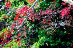 Le foglie di acero rosse nell'inverno Immagini Stock Libere da Diritti