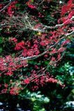 Le foglie di acero rosse nell'inverno Fotografia Stock Libera da Diritti
