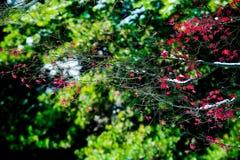 Le foglie di acero rosse nell'inverno Immagine Stock