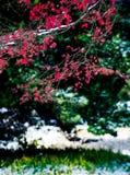Le foglie di acero rosse nell'inverno Fotografie Stock Libere da Diritti