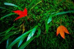 Le foglie di acero rosse si avvicinano all'area della cascata alla pari del cittadino di Phukradueng fotografia stock libera da diritti