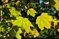 Le foglie di acero si chiudono su sul fondo del cielo blu Fotografia Stock Libera da Diritti