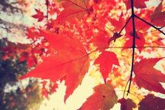 Le foglie di acero stanno ottenendo il rosso Fotografia Stock Libera da Diritti